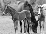 Successful Stallion Selection Starts Here
